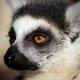 Ring-Tailed-Lemur-3