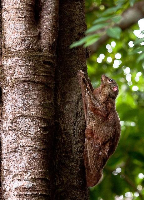Flying-lemur-3
