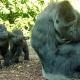 Westelijke-laagland-gorilla