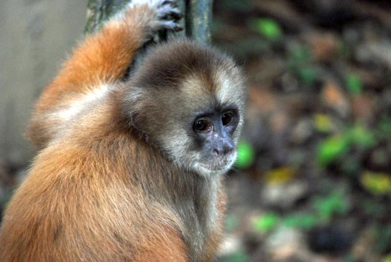 Cute Capuchin monkey in Peru