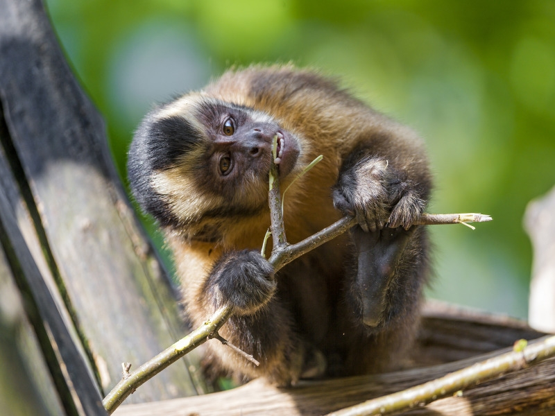 Funny Capuchin on the tree eating