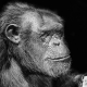 Chimpanzee-portrait