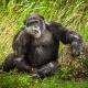 Chimpanzee-2-1