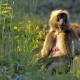 Ethiopia, Gelada baboon