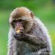 A junior Barbary macaque enjoys a juicy fruit.