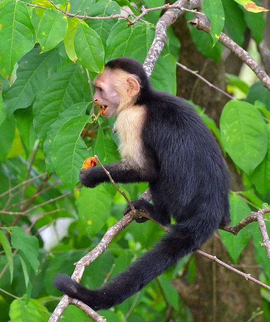 White-Faced-Capuchin-eating-fruit