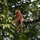 Red Leaf Monkey in Borneo