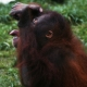 Thirsty-Orangutan