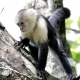 Capuchin monkey climbing the tree