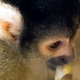 Capped-Squirrel-Monkey