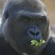 Gorilla-gorilla-Western-lowland