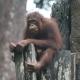 Orangutan at the Sepilok Orang-Utan Rehabilitation Centre.