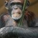 Chimpanzee-sitting-in-the-darkness