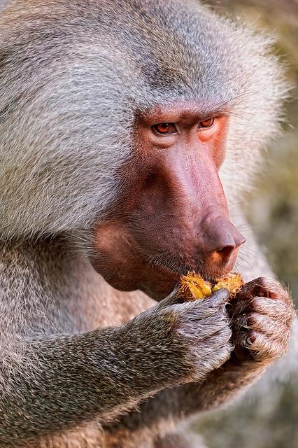 Eating-baboon