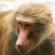 Female Baboon in Emmen zoo