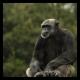 Older Chimpanzee stares