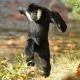 Happy dancing Gibbon
