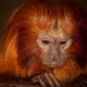 Golden-lion-tamarin-at-Marwell