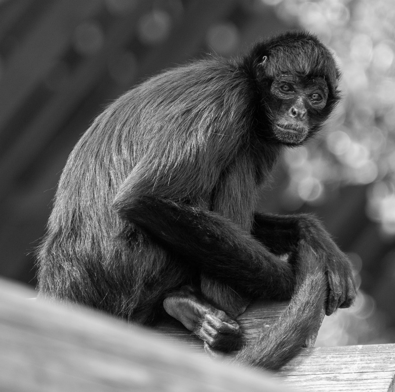 Spider monkey wrapping his tail as he sits