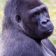 Western Lowland Gorilla having a think