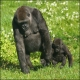 Mother Western Lowland Gorilla walking with her child