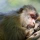 Sleeping-macaque