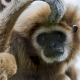 A Gibbon in deep thought