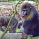 Alpha male Mandrill