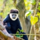 Northern-White-cheeked-Gibbon-1
