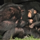 Young-and-old-chimps