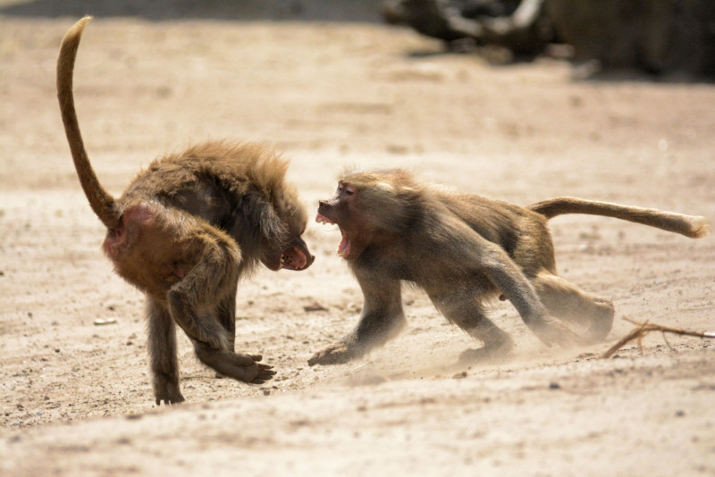 Baboons at playfight in Keyna