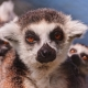 Mother lemur with two babies
