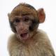 Stunning baby Macaque monkey