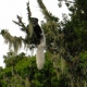 Colobus-Monkeys-at-Mandara-Hut-2