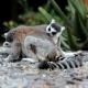 Lemur-catta-Ring-tailed-Lemur