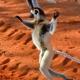 More Dancing Lemurs