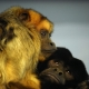 Howler monkeys hugging