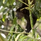 The Call of the Rainforest: The Mantled Howler Monkey