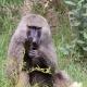 Baboon at Lake Manyara National Park