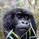 A cute Congo Gorilla