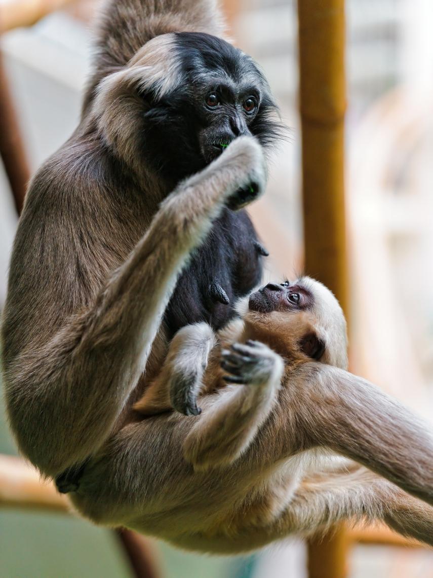 Baby-gibbon-with-mother-II