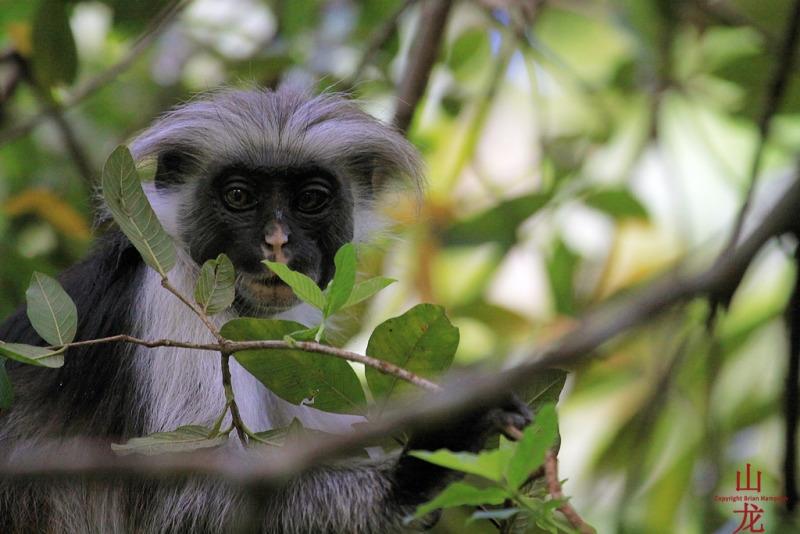 Zanzibar red colobus monkey in Central Tanzania