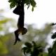 Capuchin-Monkey-Cebus-Capuchinus-2