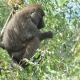Baboon in a tree eating olives