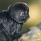 Goeldis-marmoset