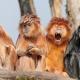 Amazing group of Langur monkeys