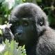 A very stunning Gorilla juvenile