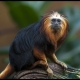 Golden-Headed-Lion-Tamarin