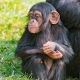 Young-chimp-near-her-mother