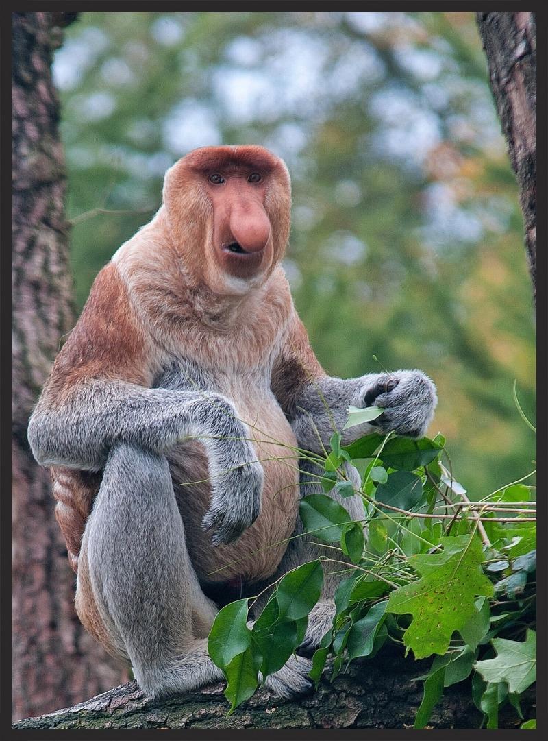 Proboscis Monkey in Nethelands